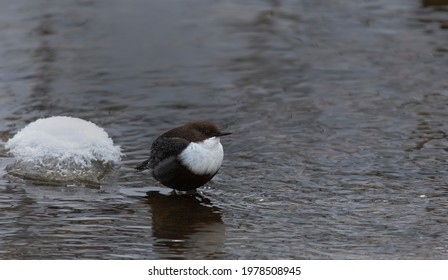 he white-throated dipper (Cinclus cinclus), also known as the European dipper or just dipper