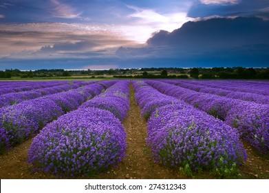 Heacham Lavender Field in North Norfolk, England