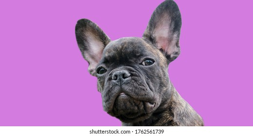 A head of an adorable brown and black brindle French Bulldog Dog puppy, against a purple background.