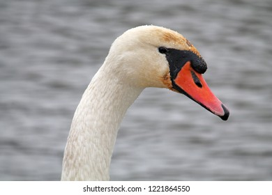 Head of adult Cygnus olor or Mute swan close-up