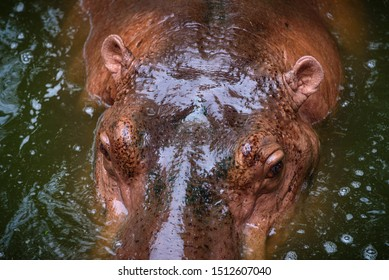 The head of the adult hippopotamus