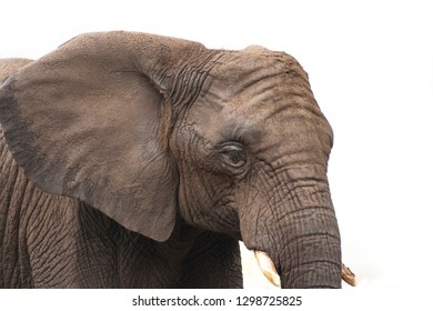 Head of African elphant covered in mud with against white background