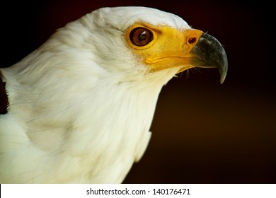 Head of the African Fish Eagle