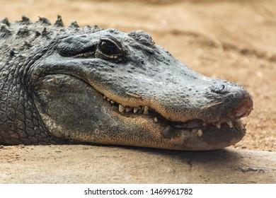 Head of an American alligator (Alligator mississippiensis).