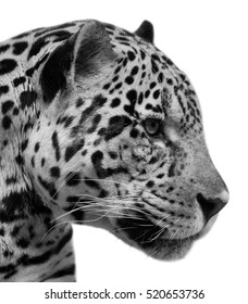 Head of American leopard, isolated on white background. Wild beauty of a cougar, excellent big spotted cat. Side face portrait of a dangerous beast and mighty predator. Black and white image.