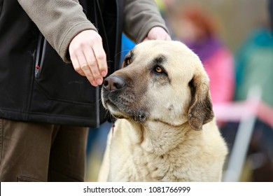 Head of an anatolian shepherd dog, kangal, yellow eyes, hand of his master with treat in front of his nose, close up picture