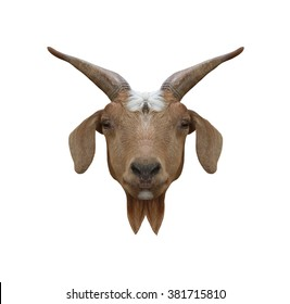 Head animal of Domestic Goat or Capra hircus isolated on white background and have clipping paths.