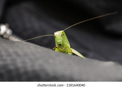 Head and antennae of the Common True Katydid, Pterophylla camellifolia, in Michigan, USA