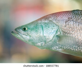 Head of Australian barramundi or Asian seabass (Lates calcarifer), a popular sport fish, swimming in front of colorful blurred background