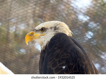 The head of a bald eagle. A bird of prey from the family of hawks with a white head, a yellow beak, and a red eye in profile