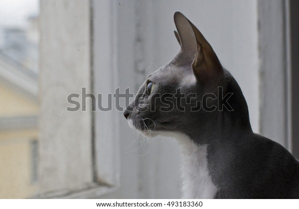 head bald Sphinx cat with green eyes looking out the window overcast
