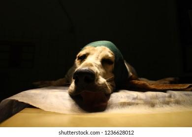 Head of basset hound with bandage (othematoma on ear)