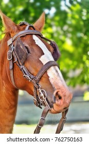 The head of a bay horse with a bridle and blinders in the eyes. A close up, selective focus, a background from the green leaves lit with the sun