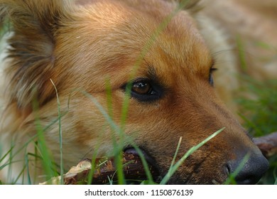 Head of beautiful dog laying in the grass