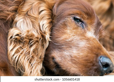 Head of a beautiful old sleepy Irish Setter dog
