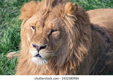 Head of a beautiful young lion with scars on the background of green grass. Close-up