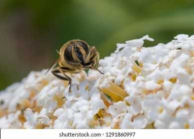 head of a bee