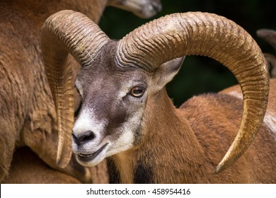 Head Of Big Horn Sheep With Big, Beautiful Horn
