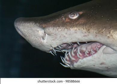 head of big sand tiger shark in detail with dark background