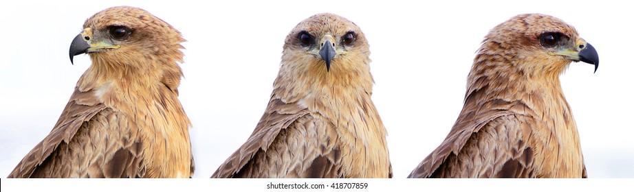 Head Bird Brahminy Kite (full face,  front view,  profile)