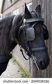 Head of a black Friesian horse with harness, halter, browband, chains, reins and leather blinker. The blinker restrictes the field of vision