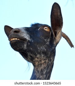 head of black goat crazy eyes and tooth with horn. view from down to up