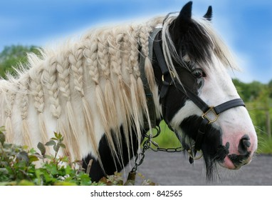 The head of a black and white gypsy cob horse with bridle and with its mane plaited.