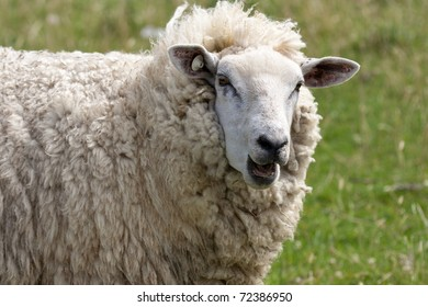 Head of a bleating sheep