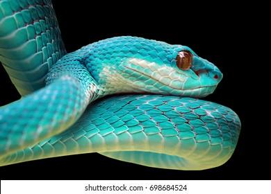 Head of blue viper snake on branch, viper snake, blue insularis, Trimeresurus Insularis