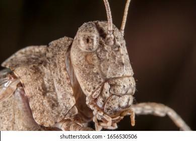 Head of the Blue-winged grasshopper (Oedipoda caerulescens)