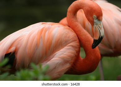 Head and Body shot of a flamingo