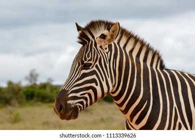 Head and body shot of a Zebra standing in the field