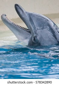 The head of a bottlenose dolphin peeks out from the water.