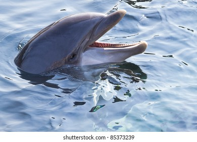 Head of Bottlenose dolphin or Tursiops truncatus above the water surface