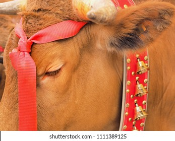 """A head of a brown bull decorated with red ribbons in closeup. On the collar hanging little bells. The bull was decorated for the """"Dia de Canaria"""", a traditional festival in the Canary Islands."""