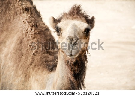head-brown-camel-arabian-environment-450