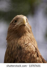 Head of brown eagle in zoo