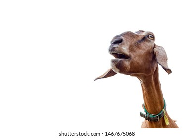 the head of a brown goat that screams on a white background