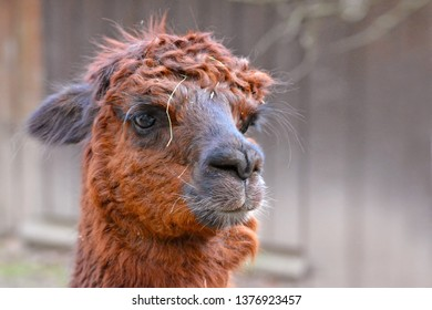 Head of a brown hairy alpaca camelid on blurry background