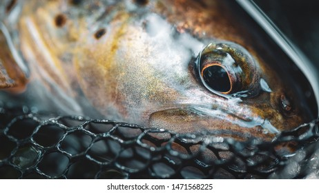 Head of brown trout close-up.