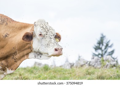 Head of a brown and white cow annoyed by flies