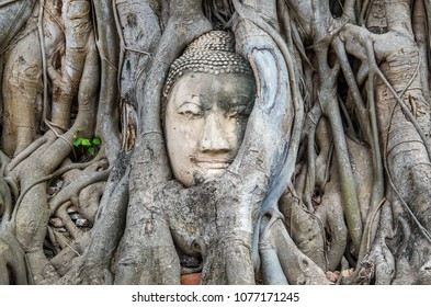 Head of the Buddha The root of the tree is amazing in Thailand. Bodhi Tree roots at Wat Maha That Ayutthaya