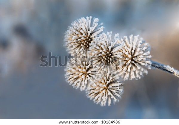 The head of a burdock covered with hoarfrost