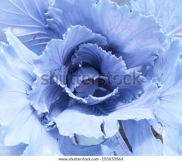 Head of cabbage of blue color