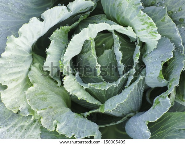 Head Cabbage Botanical Name Brassica Oleracea Stock Photo Edit