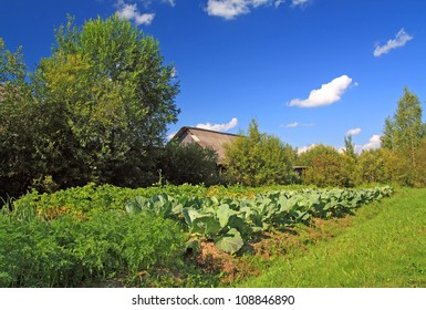 head of cabbage in vegetable garden