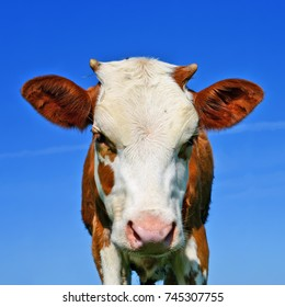 Head of the calf against the sky