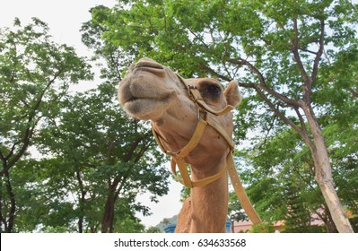 head of camel