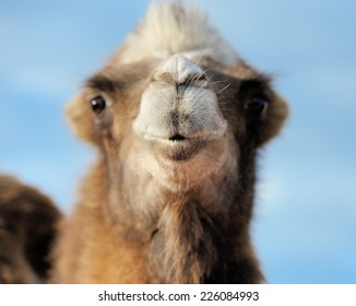 Head of a camel on a background of blue sky. Focusing on the nose