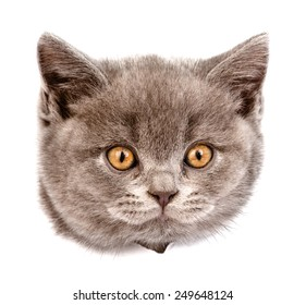 head cat in paper side torn hole. isolated on white background